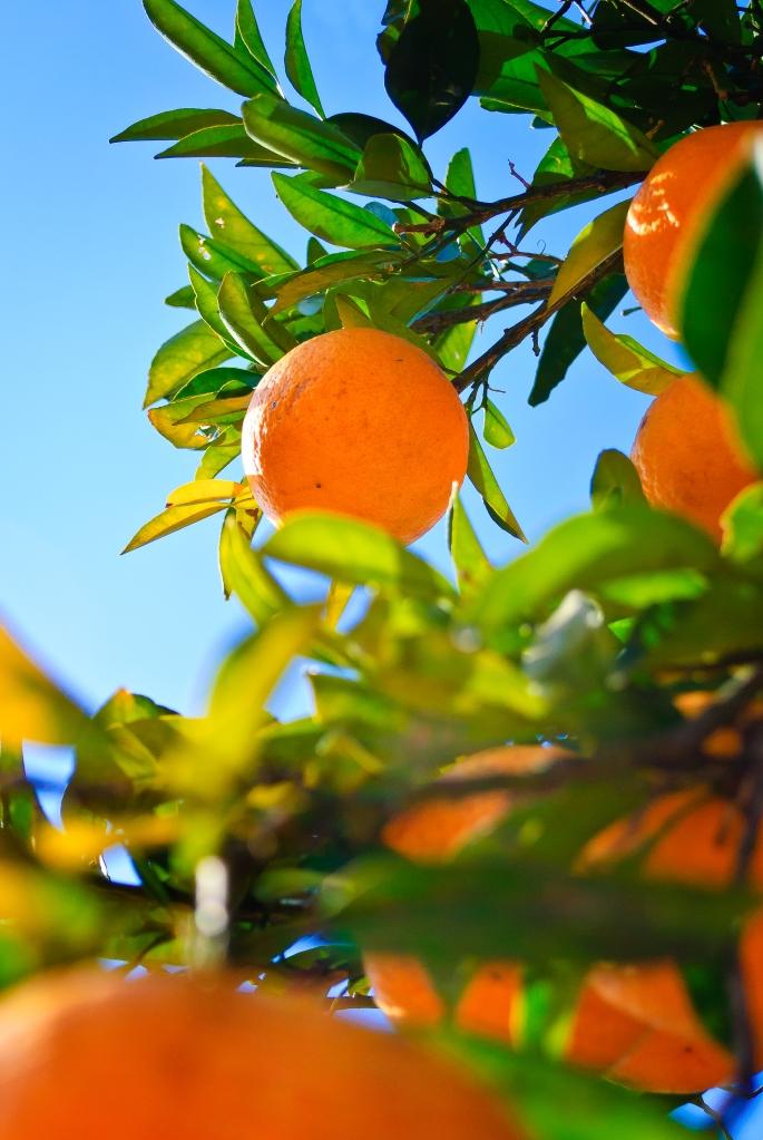 orangetreeinjapan