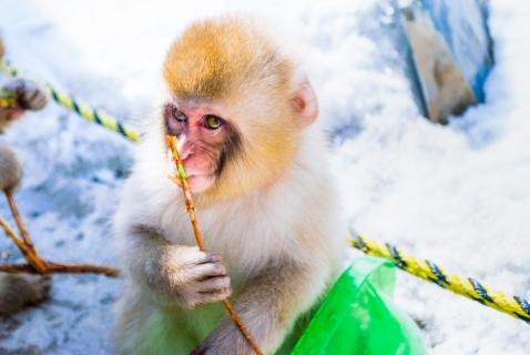 japanese-monkey