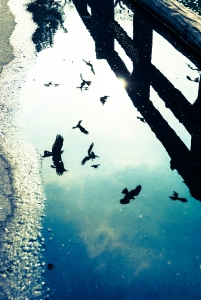 puddle-birds