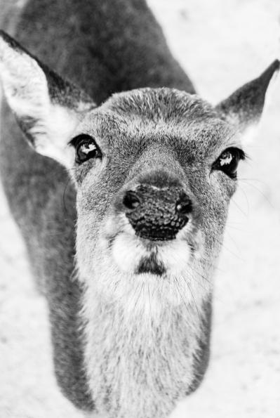 miyajima-deer