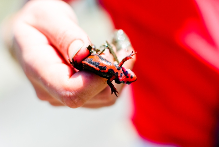 red-lizard