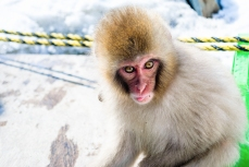japanese-snow-monkey