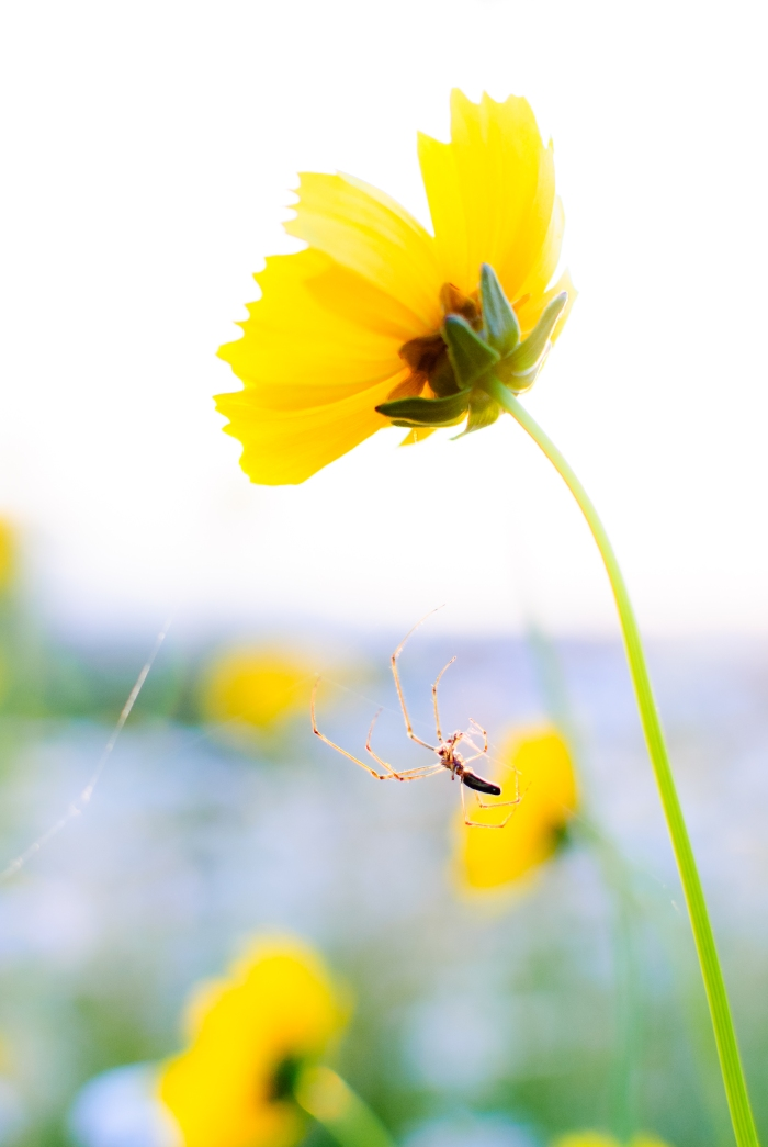 spider-yellow-flower