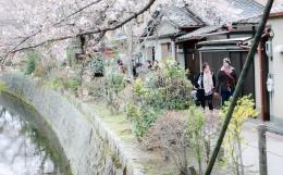 cherry-blossoms-kyoto