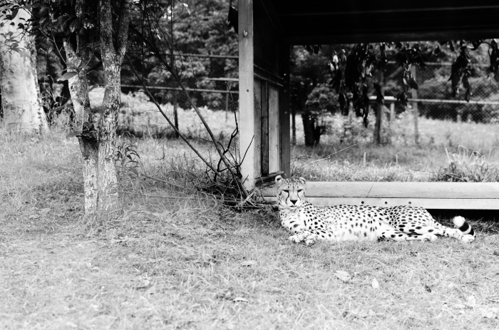 safari-park-cheetah