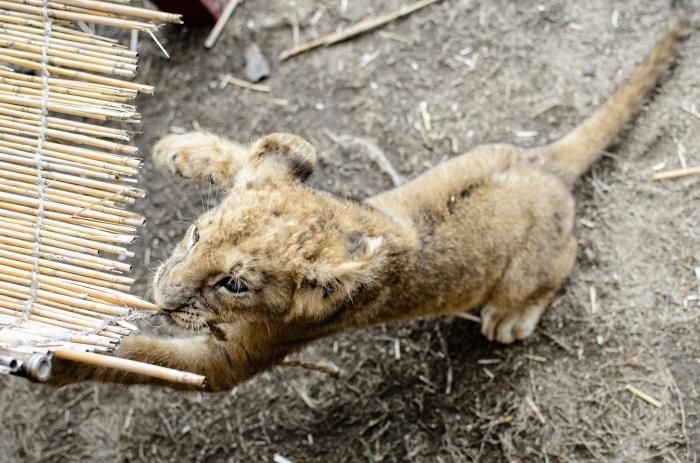 safari-park-lion-cub