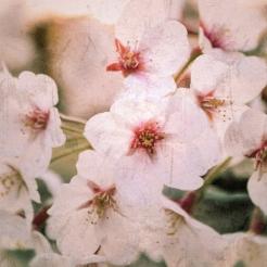 sakura-cherry-blossoms-japan