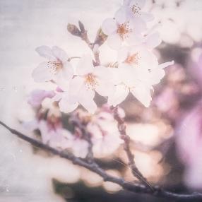 cherry-blossom-bloom-japan