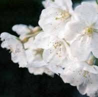 cherry_blossoms_japan_sakura_bloom