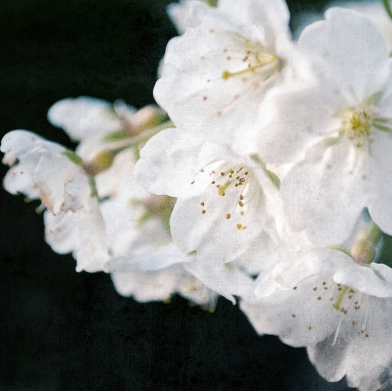 cherry_blossoms_japan_sakura_bloom