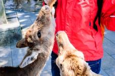 deer_feedin_in_nara