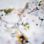 cherry_blossoms_japan