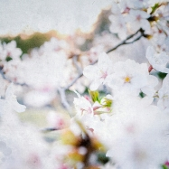 cherry_blossoms_japan
