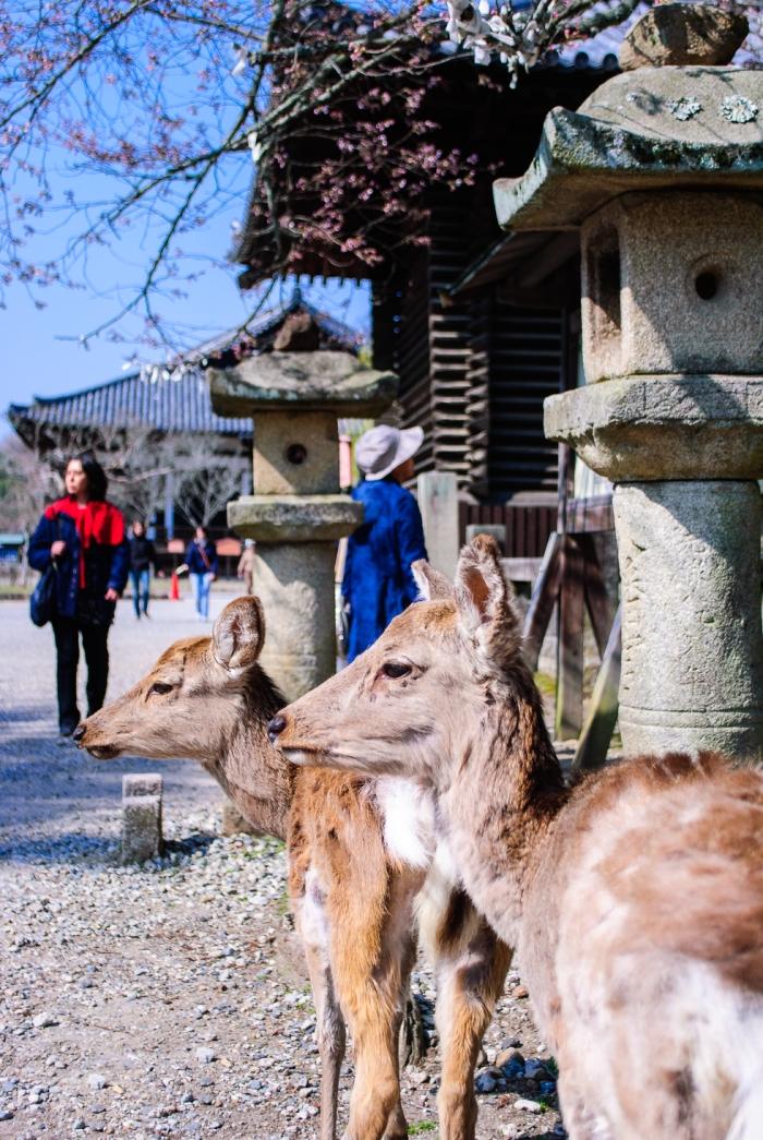 deer-in-nara-park