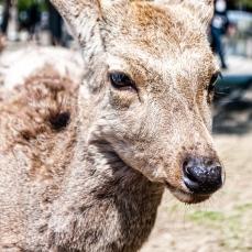 deer-of-nara