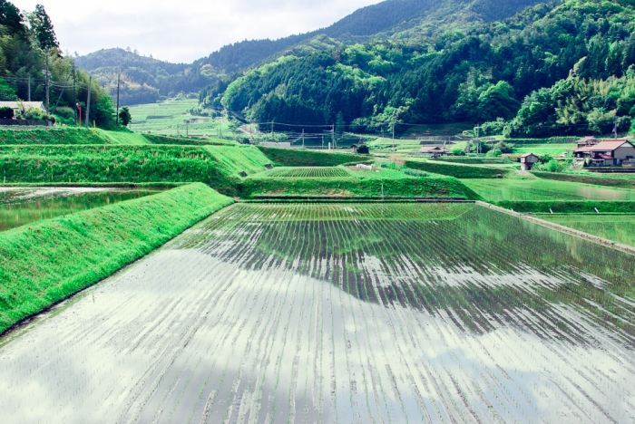 rice-fields-japan