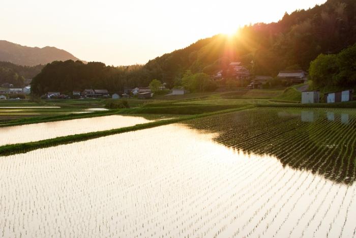 japan-rice-field-sunset