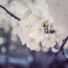 cherry-blossoms-instagram