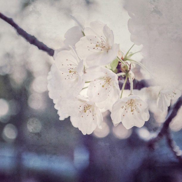 cherry-blossoms-instagram