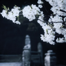 japan-cherry-blossoms