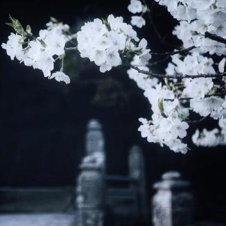 japan-cherry-blossoms