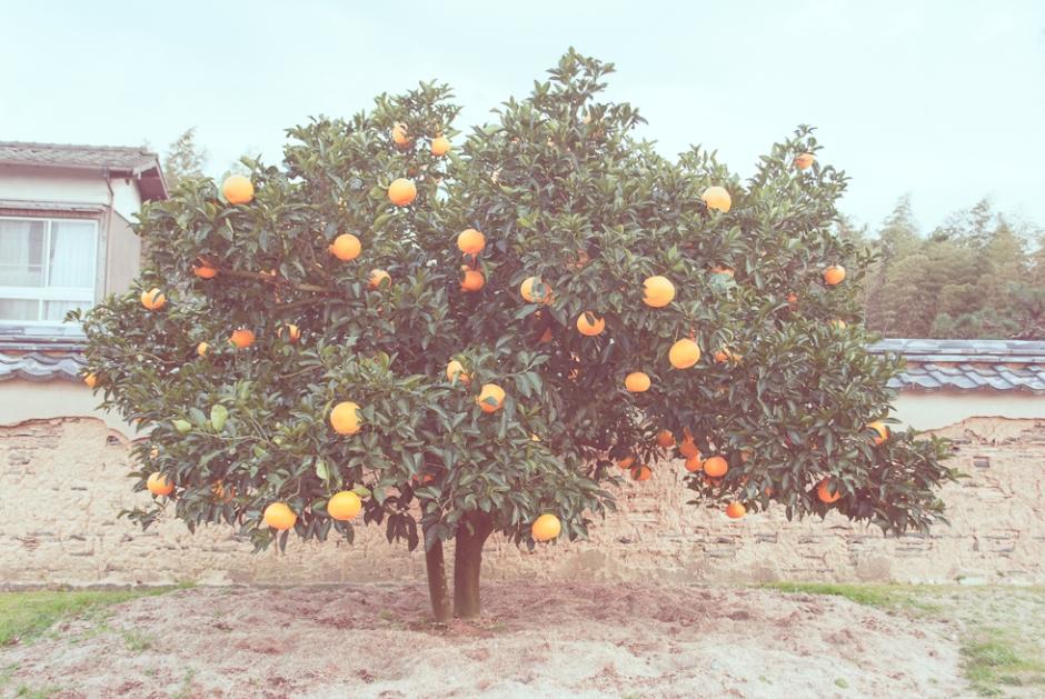 japan-orange-tree