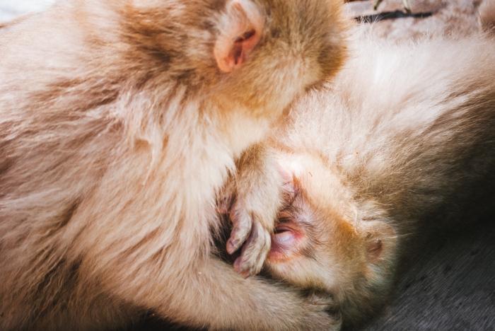 smow-monkeys-japan