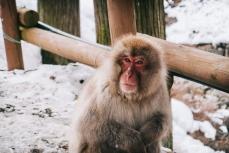 japanese-snow-monkey