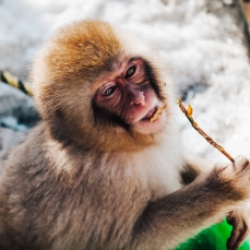 japanese-snow-monkeys