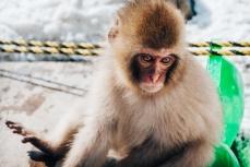 japanese-snow-monkeys