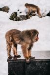 japan-snow-monkey