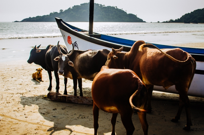 india-goa-cow-beach