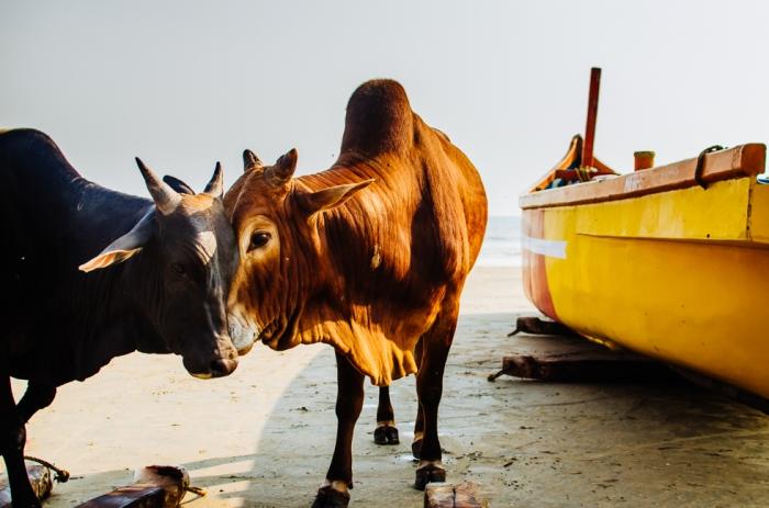 india-goa-cow