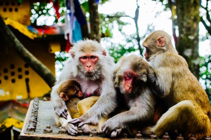 indian-monkey