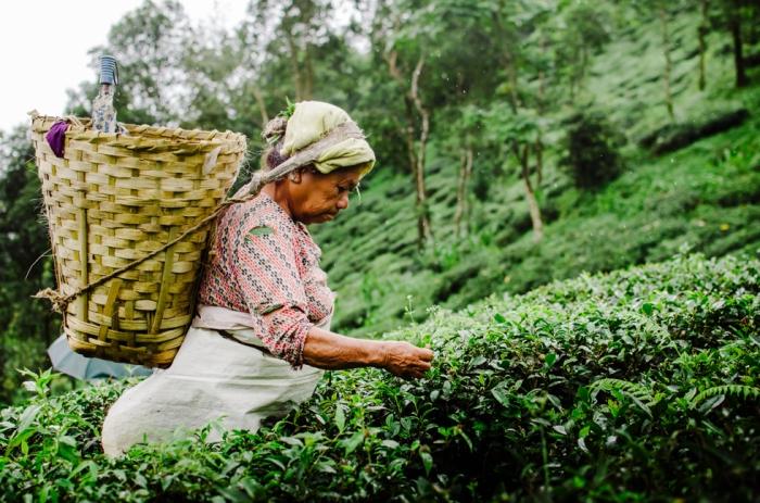 tea-planting